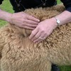 A look at an Alpacas Fleece